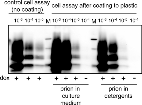 Cell assay detection of plastic-bound prions.Infectivity from 10% PG127 brain homogenate was diluted either in culture medium (prion in culture medium) or in Triton-DOC lysis buffer (prion in detergents) and incubated for 2 h into plastic wells. Samples were removed, wells were thoroughly rinsed and air-dried. OvRK13 cells were then seeded in the presence (+) or in the absence (−) of dox. PrPres in the cultures was analyzed 4 weeks later by immunoblotting and compared to PrPres levels in ovRK13 cultures subjected to the standard cell assay (no coating). M are standard molecular mass marker proteins (20, 30 and 40 kDa).