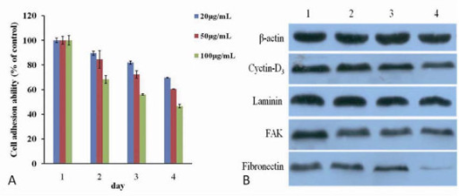 Effects of FMNPs on cell adhesion ability and adhesive proteins. (a) The adhesion ability of HEK293 cells treated with FMNPs. (b) Western blot analysis of the effect of FMNPs on the expressions of cyclin D3, laminin, FAK, fibronectin, and β-actin. Lanes 1, 2, 3, and 4 are the protein expressions at FMNPs concentrations of 0, 20, 50, and 100 μg/ml, respectively.