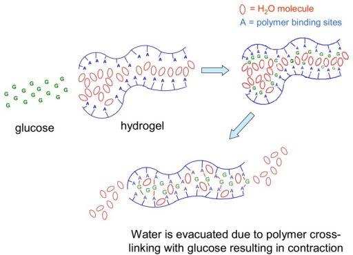 Depiction of the apparent mechanism of glucose-induced water expulsion from a functional hydrogel synthesized via introducing flexible binding sites into pre-existing polymer(PMMA) polymer networks, in such a manner as to promote tunable macroscopic contraction via inducing bisdentate glucose binding as described in Figure 12[79].