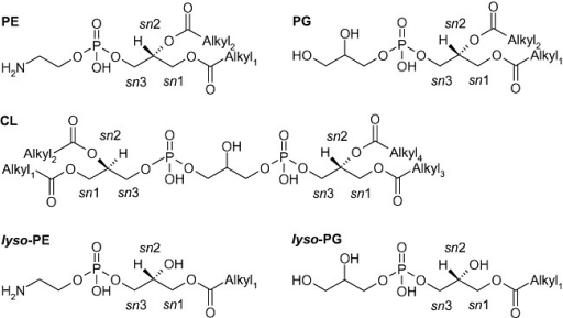Glycerophospholipid classes of P. putida. PE, phosphatidylethanolamine; PG, phosphatidylglycerol; CL, cardiolipin. lyso‐glycerophospholipid species are representative examples with the acyl moiety in sn1 position. Alkyl1–4 represents alkyl moieties (same or different ones).