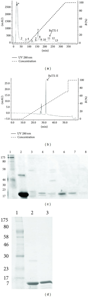 (a) Chromatographic profile of Bothrops atrox venom. The crude venom of B. atrox after being solubilized was applied on CM-Sepharose (400 mm × 10 mm) previously equilibrated with Tris 50 mM pH 7.4 and eluted under a gradient of NaCl (0–1 M) in the same buffer, in 5 column volumes. The fractions with PLA2 activity are identified with (∗). (b) High performance chromatographic profile. Fraction 6 obtained from CM-Sepharose was solubilized in 0.1% TFA (solvent A) and applied on a C18 column (discovery 25 mm × 46 mm, 5 μ, 300 Å) previously equilibrated with the same buffer and eluted with 0.1% TFA in 99.9% acetonitrile (solvent B) under a gradient 0–70% and flow of 1 mL/min. Both chromatograms were monitored with absorbance at 280 nm. (c) SDS-PAGE 12. 5%: samples: 1 molecular weight marker; 2 BthTX-I; 3 fraction 8; 4 fraction 9; 5 fraction 10; 6 11 fraction (BaTX-I); 7 fraction 12. (d) SDS-PAGE 12.5% in reducing conditions: electrophoretic analysis of basic Asp49 PLA2 from B. atrox. Samples: 1 molecular weight; 2 BthTX-I; 3 BaTX-II.