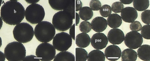 Morphological aspects of isolated microspores from genotype SM1219-9 of M. esculenta. (A) The suspensions consisted of microspores of black (b) colour having a well-developed exine captured in the 70– to 104-µm extract. (B) Microspores with partially synthesized exine (pse) of less intense black and slightly synthesized exine (sse) in yellowish brown in the 41– to 70-µm extract.