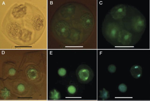 Fluorescence micrographs of nuclei in cultured tetrads of M. esculenta genotype TMS 60444. (A–C) A fresh tetrad without fluorescence and with partial and full fluorescence under a green filter. (D–F) Cultured tetrad containing an enlarged microspore undergoing mitosis under partial and full fluorescence with a green filter and full fluorescence with a blue filter (scale bars = 22 µm).
