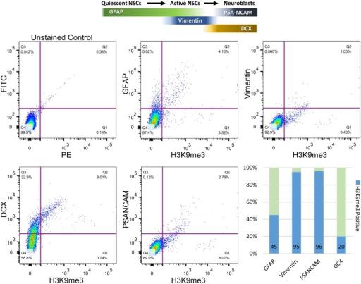 Quantification of co-localization percentages between H3K9me3 and subpopulations of SVZ cells by flow cytometry. After SVZ dissection, dissociated cells were analyzed by flow cytometry with antibodies against H3K9me3 and cell-type markers including GFAP (quiescent and active NSC marker), Vimentin (relatively active NSCs), PSA-NCAM (migrating neuroblast), and DCX (early and migrating neuroblast marker). Bar graph represents undifferentiated SVZ cells for each population positive for GFAP, Vimentin, PSA-NCAM, and DCX (light green). Blue annotates H3K9me3-positive percentage within each SVZ subpopulation.