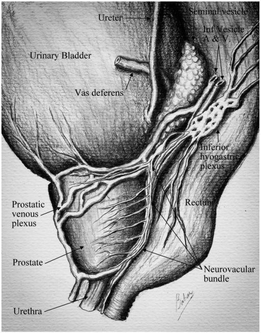 neurovascular supply of prostate gland prostate gland open i