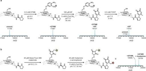 N-terminal oxidative coupling for proteinswith free cysteines.(a) PAG S123C TMV was reacted with small molecule substrates and analyzedby LC–MS. Cysteine residues were protected as a disulfide usingEllman's reagent (DTNB) before oxidative coupling. Subsequentreduction of the disulfide resulted in selective modification of theN-terminus. (b) PAG S123C TMV was labeled with two fluorophores. Thecysteine was first alkylated with an Alexa Fluor maleimide. The N-terminalproline was then modified with a rhodamine-functionalized o-aminophenol.