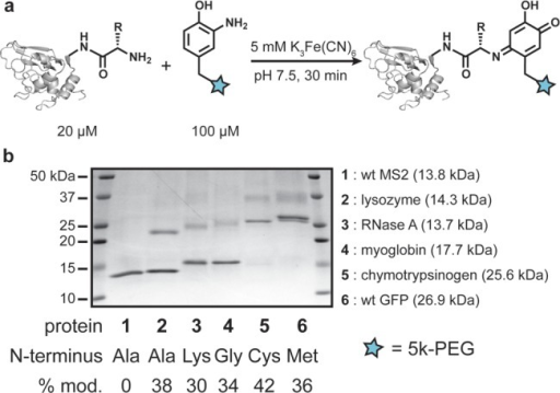 Protein modification with o-aminophenols. (a)The N-terminus of several proteins was PEGylated using o-aminophenol-functionalized 5 kDa PEG and ferricyanide. (b) Modificationof wild type proteins with 5 kDa o-aminophenol-PEGwas monitored by SDS-PAGE. The products appear as higher MW bandsin the lanes.