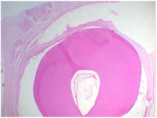 Histological section showing pulp space and fibrous connective tissue with minor salivary glands (objective 10x).