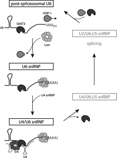 Model of the life cycle of U6 snRNA. Additional snRNP-associated proteins (1) are omitted for the sake of simplicity. See text for details.