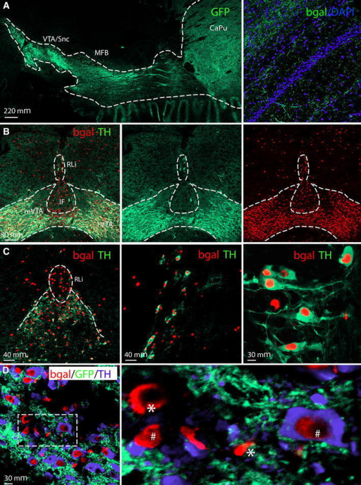 TH-Cre transgene analysis in the adult mouse brain via the tau-mGFP double Cre-reporter. Cell nuclei marked with DAPI (blue) ( a). Projections from the ventral tegmental area and substantia nigra pars compacta (VTA/SNc) to the entire striatal area (left) via the median forebrain bundle (MFB) visualized by immunofluorescence for the green fluorescent protein (GFP), close-up of GFP fibres in the hippocampus (right) (a). Nuclear β-galactosidase (β-gal; red) shows the position of cells in which TH-Cre activity has enabled β-gal expression; endogenous TH protein expression is indicated by TH immunoreactivity (green); co-localization (β-gal (red) nuclei in centre of TH (green) cytoplasm) is mainly seen in medial (m) and lateral (l) VTA, less so in the medially located rostral linear nucleus (RLi) and Interfascicular nucleus (IF) where many cells show β-gal (red) only (b, c). Triple β-gal (red)/TH (blue)/GFP (green) immunofluorescence in RLi shows some β-gal/GFP-positive TH-Cre-reporting cells that immunopositive for TH (hash) and some that do not have TH (single asterisk) (d left and close-up to the right)