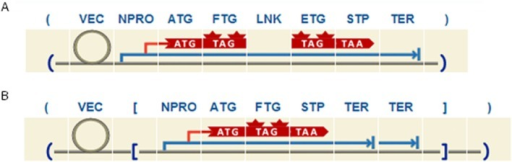 Example of two different designs for promoter analysis studies.A. The expression cassette includes a FTG under the control of a NPRO and fused with an ETG by means of a LNK. B. The expression cassette has reverse orientation and double TER.