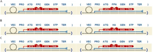 Example of three different designs obtained following ppi route.A) bifc route. B) coip route using MYC and HA as epitope tags. C) coip route using GFP and HIS as epitope tags.