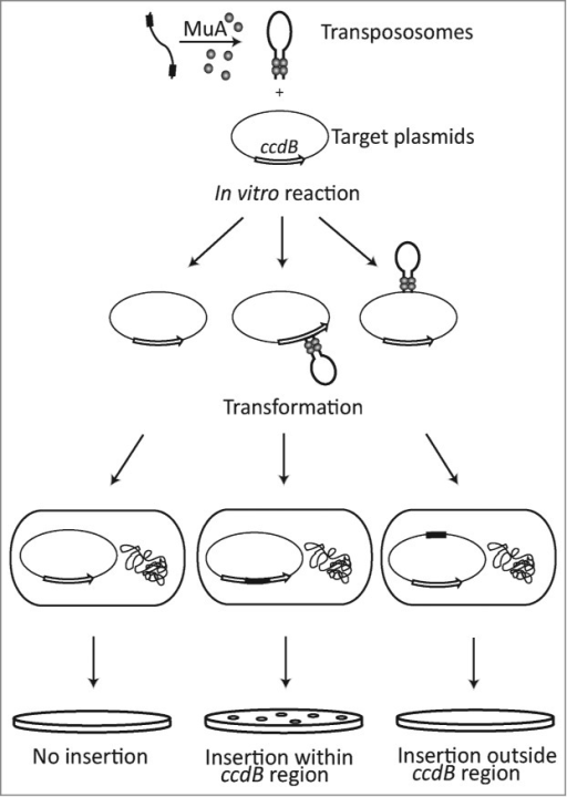 Assay design.In vitro transposition reaction with preassembled transposition complexes and pZErO-2 as a target plasmid. Target plasmid contains kanamycin resistance gene and lethal ccdB gene. In vitro transposition reaction products are introduced into E.coli cells by transformation and selected against kanamycin resistance on antibiotic selection plates. Inactivation of lethal ccdB gene by transposon insertion results into plasmid propagation and antibiotic resistance colonies.