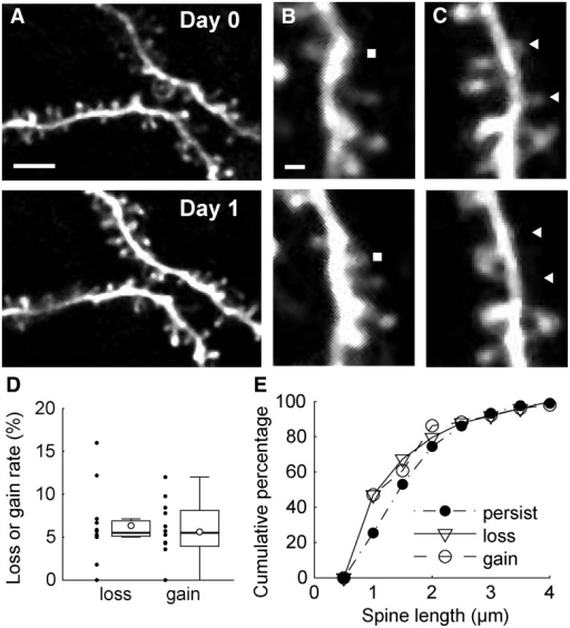Time-lapse imaging of spines in prefrontal cortex. A, The same dendritic regions in the prefrontal cortex were imaged at 24 h intervals. The top panel shows an image acquired on day 0 (7 d after craniotomy), and the bottom panel shows an image acquired on day 1. Scale bar, 5 µm. B, The gained spines were identified by manual inspection of two images acquired at 24 h intervals. A filled rectangle indicates the position of an example of a gained spine. Scale bar, 1 µm. C, The same as B for lost spines. Filled triangles indicate the positions of lost spines. D, Box plots showing the spine turnover rate. The open circles in box plots indicate mean values. Black dots indicate values for each site. The whiskers extend to the largest and smallest values within 1.5 times the interquartile range. E, Cumulative distributions of spine length in persisting, gained, and lost populations.