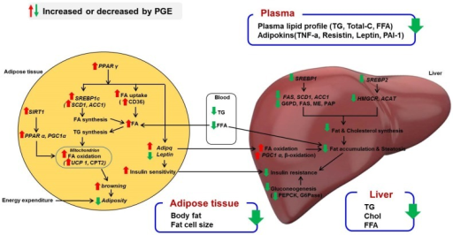 Proposed mechanism for PGE regarding anti-obesity effects. Schematic representation of the role of PGE in amelioration of obesity. PGE can contribute to browning of WAT in diet-induced obese mice through increasing fatty acid oxidation in mitochondria, which promotes energy expenditure. In addition, PPARγ activation by PGE controls adipokines, specifically the insulin-sensitizing hormones adiponectin and leptin. In the liver, PGE downregulates the mRNA expression of lipogenesis and cholesterol synthesis transcription factors, SREBP1 and SREBP2, thereby reducing hepatic steatosis and insulin resistance. PPARγ, peroxisome proliferator-activated receptor γ; SREBP1a, -1c, and -2, sterol regulatory element-binding proteins 1a, 1c, and 2; FAS, fatty acid synthase; ACC, acetyl-CoA carboxylase; SCD1, stearoyl-CoA desaturase; HMGCR, 3-hydroxy-3-methylglutaryl-CoA reductase; ACAT, acetyl-CoA acetyltransferase; SIRT1, sirtuin 1; PPARα, peroxisome proliferator-activated receptor α; PGC1α, peroxisome proliferator-activated receptor gamma coactivator 1-alpha; UCP1, uncoupling protein 1; TNF-α, tumor necrosis factor-α; CPT2, carnitine palmitoyltransferase 2.