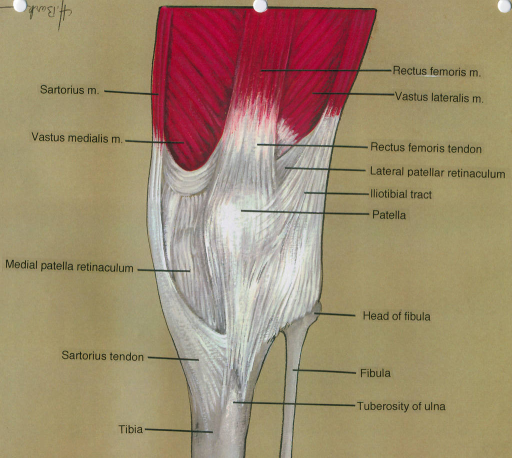 sartorius muscle; vastus medialis muscle; medial patella retinaculum; sartorius tendon; tibia; rectus femoris muscle; vastus lateralis muscle; rectus femoris tendon; lateral patellar retinaculum; iliotibial tract; patella; fibula; tuberosity of ulna