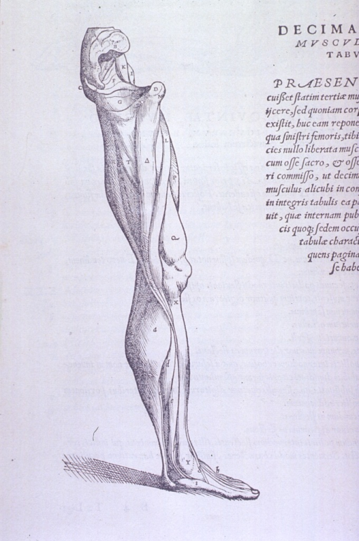 <p>Musculature of the lower leg (tibia, fibula, and foot).</p>