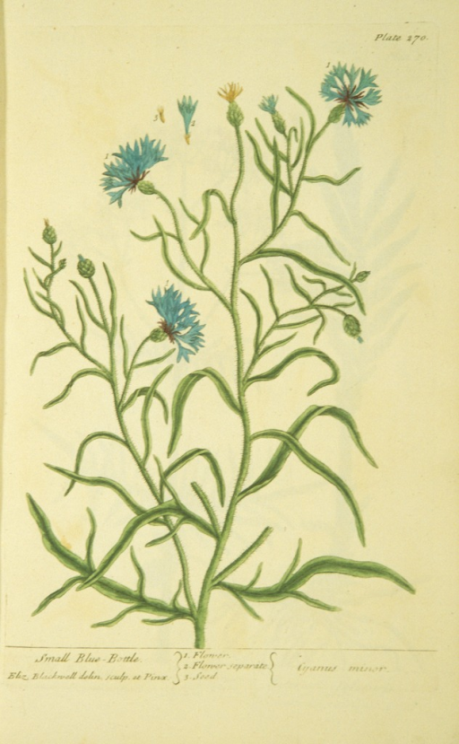 <p>Illustration of the flowers and seeds of a blue-bottle plant.</p>