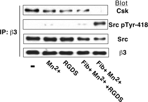 Effect of soluble fibrinogen binding to platelets on αIIbβ3-associated Csk and Src. Platelets were incubated as indicated in the presence or absence of 250 μg/ml fibrinogen, 0.5 mM MnCl2, and 2 mM RGDS for 20 min. Then the presence of Csk and Src in β3 immunoprecipitates was analyzed as described in the legends to Figs. 1 and 2. Results are representative of two experiments.