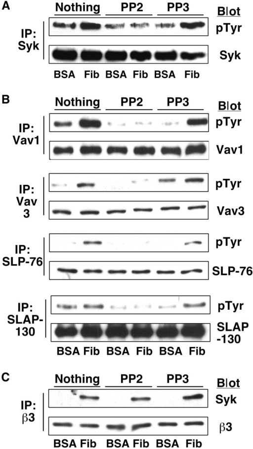 Effect of inhibition of Src kinases on Syk and its substrates. Platelets were processed as described in the legends to Figs. 1 and 5. (A) The effect of 5 μM PP2 on tyrosine phosphorylation of Syk. (B) The effect on tyrosine phosphorylation of Vav1, Vav3 and SLP-76. (C) The effect on adhesion-dependent association of Syk with αIIbβ3. Results are representative of two experiments.