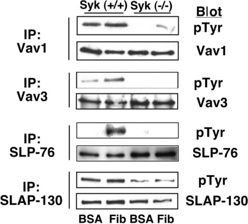 Effect of Syk deficiency on adhesion-dependent tyrosine phosphorylation in platelets. After plating on BSA or fibrinogen for 45 min, wild-type and syk−/− platelets were subjected to immunoprecipitation and Western blotting as indicated. Results are representative of three experiments.