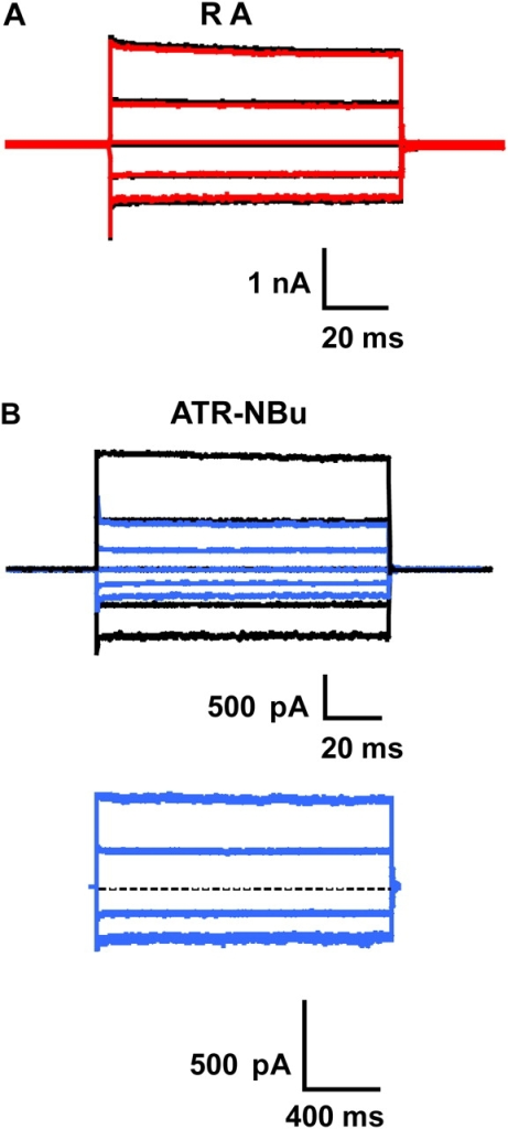 RA does not inhibit the homomeric rod CNG channel; ATR-NBu does inhibit, but not in a voltage-dependent way. Currents were measured from multichannel, inside-out patches of homomeric (CNGA1) rod channels at saturating (2 mM) cGMP. The raw traces in A and B (top) represent families of cGMP-activated currents in response to voltage steps ranging from −100 to +100 mV in 50-mV increments from a holding potential of 0 mV. Currents measured in the absence of cGMP were subtracted from all traces. The traces in B (bottom) represent cGMP-activated currents in response to longer (1.5 s) voltage pulses to +100, +50, −50, or −100 mV from 0 mV after inhibition in 80 nM ATR-NBu reached steady state. The dashed line represents the baseline (i.e., zero current). The holding potential was 0 mV during the application of ATR-NBu. Black traces represent currents in saturating cGMP prior to the addition of RA or ATR-NBu; red or blue traces represent currents after 1 h in RA or ATR-NBu, respectively. (A) 400 nM RA gave no inhibition (red); similar results were seen in two other patches. (B, top) 80 nM ATR-NBu conferred 60% inhibition (blue); (bottom) 1.5-s voltage pulses on the same patch as in the top panel after 1 h in 80 nM ATR-NBu do not show any voltage dependence of ATR-NBu inhibition.