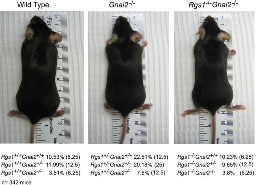 Intercross of Rgs1+/− and Gnai2+/− mice. Photographs of representative wild type, Gnai2−/−, and Rgs1−/−/Gnai2−/− C57/BL6 mice. The result of genotyping mice from double heterozygote crosses is shown below the photographs. The percentage of each of the different genotypes is shown and in parentheses the predicted frequency of the genotype. The results are from genotyping 342 mice. The p values are significantly different for each observed genotype number vs. expected genotype number (P< 0.001 by chi-square tests).