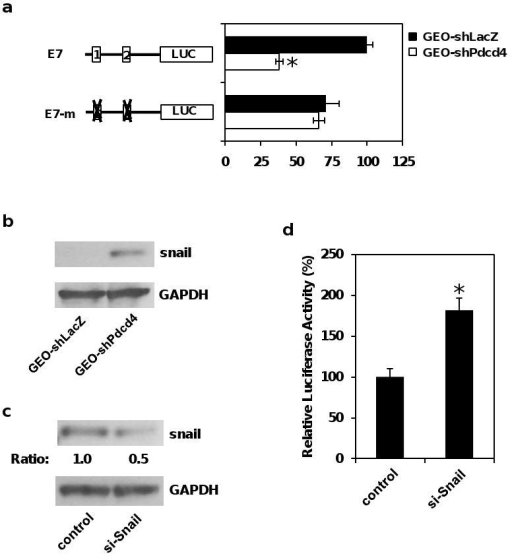 Knock-down of Pdcd4 inhibits E-cadherin expression through elevated Snail expression. (a) Pdcd4 knock-down inhibits E-cadherin promoter activity. The E-cadherin promoter reporter constructs (0.2 μg), wild-type (E7) and E-box mutant (E7-m) were transfected into GEO-shLacZ and GEO-shPdcd4 cells along with 10 ng of pRL-SV40. The luciferase activity was normalized against Renilla activity. The activity of GEO-shLacZ cells transfected with E7 is designated as 100%. The asterisk denotes a significant difference as determined by one-way ANOVA (p< 0.005). (b) Snail expression is up-regulated in GEO-shPdcd4 cells. Western blot was performed using antibodies against Snail and GAPDH as described in Materials and Methods. (c) Knock-down of Snail expression in GEO-shPdcd4 cells. The snail siRNA (si-snail) and control siRNA (control) was transfected into GEO-shPdcd4 cells. Western blot was performed using antibodies against Snail and GAPDH. The ratios of Snail/GAPDH in control cells are designated as 1.0. The number indicates the relative level of Snail protein. (d) Knock-down of Snail in GEO-shPdcd4 cells activates E-cadherin promoter activity. The wild-type E7 promoter reporter construct (0.2 μg) along with 10 ng of pRL-SV40 were transfected into control and si-snail cells. The luciferase activity was normalized against Renilla activity. The activity of control cells transfected with E7 is designated as 100%. The asterisk denotes a significant difference compared with GEO-shLacZ cells transfected with E7 as determined by one-way ANOVA (p < 0.05).