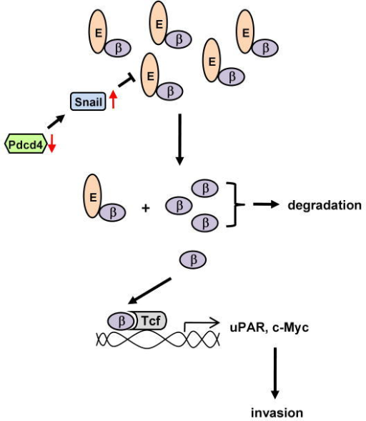 A model depicting the pathway involved in invasion promotion caused by Pdcd4 knock-down. See text for details. E: E-cadherin; β: β-catenin.