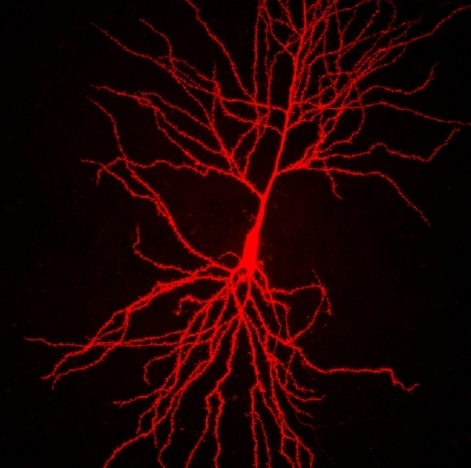 neuron unlabeled neuron in slice culture receivesNeuron Unlabeled