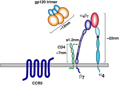 A schematic depicting approximate sizes of α4β7, CD4, and a gp160 trimer.