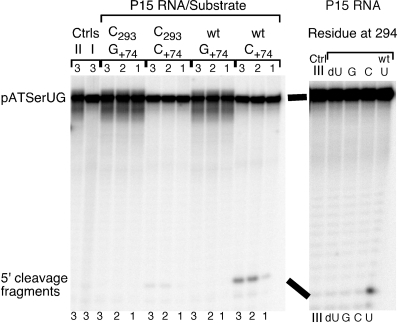 Cleavage of different pATSerUG derivatives with chemically synthesized variants of the P15 RNA at 160 mM Mg2+ as indicated. The experiments were performed under single-turnover conditions at pH 6.0 and at 37°C as described in 'Materials and Methods' section. The concentrations of substrates and P15 RNA variants were ≤20 nM and 39.1 µM, respectively. In cleavage of the +74 variants the reaction times were 4 h (lanes labeled 1), 24.5 h (lanes labeled 2) and 26 h (lanes labeled 3). C+74 (wild-type pATSerUG) and G+74 refer to the identity of the residue at position 74 in the substrate while C293 refers to the identity of the residue at position 293 (wild-type: G293) in the P15 RNA (for comparison we use Eco RPR numbering; Figure 1A). In the right panel pATSerUG was cleaved with chemically synthesized P15 RNA variants carrying substitutions at position 294 (Figure 1C). A reaction time of 18 h was used while assaying the different P15 variants. Controls (Ctrl) incubation of substrate in reaction buffer C without the P15 RNA; Ctrl I pATSerUG (26 h); Ctrl II pATSerUG(G+74) (26 h); Ctrl III pATSerUG (18 h).