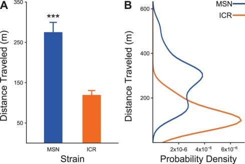 Confirmation of the MSN manic phenotype using an experimental replication of the most robust behavioral measure from previous research on this mouse strain, total locomotor activity.A) MSN mice display stable heightened locomotor activity relative the outbred strain. ***P<0.001. B) The probability density for MSN mouse total locomotor activity is bimodal, while the probability density for the control strain is unimodal. This leads us to the hypothesis that MSN mice may display behavioral bipolarism, a hypothesis that will be examined in future work.