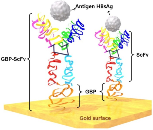 Schematic diagram of bio-recognition onto the gold surface by GBP-fusion proteins and detection of targets (Immobilization of single-chain variable fragment antibody via 6HGBP-ScFv fusion protein for the detection of HBsAg).