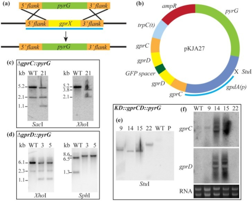 "(a) The general scheme for deleting A. flavus gprC and gprD by replacing with pyrG is shown here. The light blue bar represents the region amplified for the Southern probe; (b) The plasmid used to deplete A. flavus gprC and gprD transcripts, pKJA27, is depicted here. The light blue bar represents the region amplified for the Southern probe; (c) The ∆gprC::pyrG strain, TKJA10.1, was confirmed by Southern analysis. Genomic DNA was digested with SacI (WT expected bands: 5.2 and 2.1 kb; ∆gprC expected bands: 4.9, 2.1, and 1.1 kb) and XhoI (WT expected band: 5.2 kb; ∆gprC expected bands: 3.8 and 2.1 kb); (d) The ∆gprD::pyrG strain, TKJA8.1, was confirmed by Southern analysis. Genomic DNA was digested with XhoI (WT expected bands: 6.1 and 2.3 kb; ∆gprD expected bands: 5.8, 2.3, and 1.1 kb) and SphI (WT expected bands: 6.5, 6.1 (faint), and 1.3 kb; ∆gprD expected bands: 8.6 and 6.1 (faint) kb); (e) The KD::gprCD strain, TKJA14.2, was confirmed by Southern analysis. The gpdA promoter is derived from A. nidulans, so the probe will only hybridize if pKJA27 is present. Genomic DNA was digested with StuI (WT and parental strain 3357.5 (denoted ""P"") should have no bands; transformants should have one band for each copy of the plasmid they integrated); (f) The KD::gprCD strain, TKJA14.2, was confirmed by Northern analysis. Probes within the coding regions of gprC and gprD were used, and correct transformants were identified by the smear of degraded transcripts, seen for transformants #14 and #15."