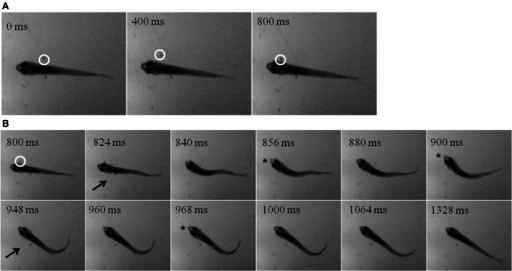 """Dark Feeding"" episode of a 39 dpf, juvenile zebrafish. Video was collected at 250 frames per second under IR-illumination and representative frames are shown. (A) Three frames, each separated by 400 ms, show the motion of the prey item which occurs before initiation of the feeding episode. Note that the Artemia is moving in a caudal to rostral direction as highlighted by the white circle. (B) Dark feeding by this juvenile is documented via select frames showing locomotor (fin) movements (arrows) and strike attempts, i.e., jaw protrusions (asterisks), with success occurring on the third attempt. The fins are very thin and light and so difficult to see in still photos, but are more apparent when viewing movie files. Note that the jaw protrusion occurring at 968 ms can be seen as a light, anterior extension of the snout, which is not occurring in the frame just above it (at 840 ms)."