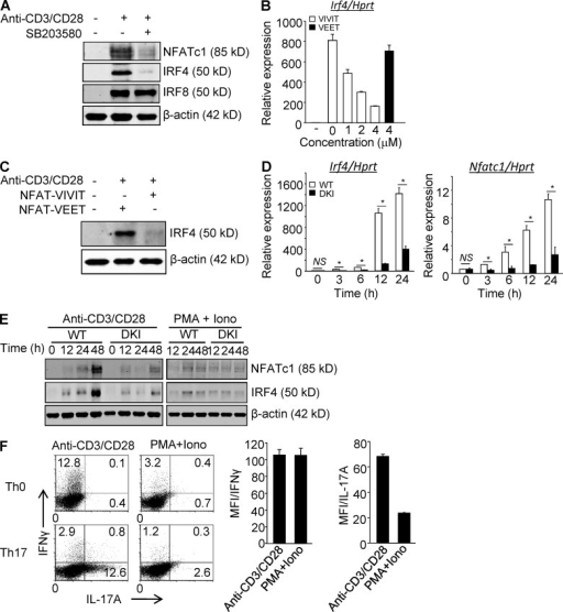 p38 Alternative activation is required for TCR-induced expression of NFATc1 and IRF4 in CD4+ T cells. (A) Purified CD4+ T cells were stimulated with anti-CD3/CD28 in the presence or absence of SB203580 and immunoblotted for the indicated transcription factors 48 h later. (B and C) Purified CD4+ T cells were stimulated with anti-CD3/CD28 in the presence of 11R-VIVIT or 11R-VEET. Irf4 mRNA (B) and protein (C) were determined 24 h later. (D and E) Purified CD4+ T cells from WT and DKI mice were stimulated with anti-CD3/CD28 or PMA plus ionomycin, as indicated for the indicated times and analyzed for expression of Nfatc1 and Irf4 mRNA (D) and protein (E). Results shown in A–E are representative of three independent experiments each. (F) Naive CD4+ T cells were stimulated with either anti-CD3/CD28 or PMA and ionomycin under neutral or Th17-skewing conditions for 3 d. IL-17A and IFN-γ expression were determined by intracellular staining and flow cytometry after restimulation with PMA and ionomycin. Results shown in the left panel are representative of three independent experiments and bar graphs in the right panel show the mean ± SEM of all three. *, P < 0.05 (unpaired two-tailed Student's t test).