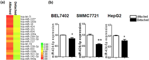 Expression of miR-424-5p in detached hepatocarcinoma cells.(a) HCC cells were plated in poly-HEMA coated and non-coated plates and allowed for growth for 24 h as detached and attached cells. MiRNA expression profiling of these two groups was analyzed and the statistically differently expressed microRNAs were selected. (b)BEL7402, SMMC7721, and HepG2 cells were plated in 6-well plates without or with poly-HEMA as attached and detached group. After 24 h of culture, cells were collected and the expression of miR-424-5p in BEL7402, SMMC7721 and HepG2 cells was detected by real-time PCR. Histogram represented the relative miR-424-5p expression levels normalized to U6. Data were presented as mean ± s.d. from triplicate analysis, and were the representative data from at least three independent experiments. *P<0.05. **P<0.01.