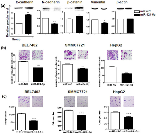 Enforced miR-424-5p expression reversed EMT-like features and malignant behaviors of HCC cells.(a) HepG2 cells were transfected with miR-424-5p or miR-NC and cultured in anchorage deprived condition for 24 h before expression analysis of the EMT related markers. (b) After cultured in anchorage deprived condition for 24 h, miR-424-5p transfected HCC cells were seeded into normal 6-well plate at the density of 1,000 cells/well and incubated for 7 days. The resulting colonies were stained with crystal violet and counted. (c) MiR-424-5p transfected BEL7402, SMMC7721 and HepG2 cells were cultured in anchorage deprived condition for 24 h before invasion activities were measured. Photos were representative fields of invasive cells on the membrane. All of the presented data are representative one from at least three independent experiments. *P < 0.05,**P < 0.01, *** P < 0.001.