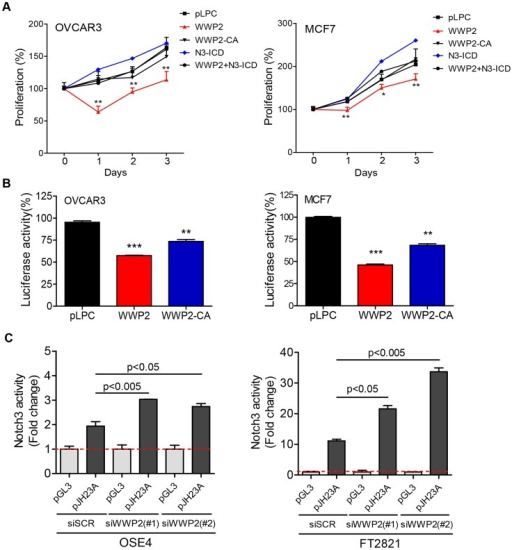 WWP2 regulates Notch3 signaling activity in cancer cells.(A) OVCAR3 or MCF7 cancer cells were transfected with control plasmid pLPC, WWP2, catalytically-inactive WWP2 (WWP2-CA), N3-ICD, or WWP2+N3-ICD. Relative cell numbers were measured at different time points using the SYBE Green-based assay. Data are expressed as means ± SD and Student's t-test was performed to compare the relative cell number between WWP2+N3-ICD and pLPC (* p<0.05; ** p<0.01). (B) Different groups of cells were transfected with the pJH23A (4×wtCBF1Luc) luciferase reporter construct together with pLPC, WWP2, or the catalytically-inactive WWP2 plasmid (WWP2-CA). Each experiment was performed in triplicate. Results are shown as percentage of luciferase activity compared to pLPC transfected controls. Data are expressed as means ± SD. P values were calculated by comparison between either WWP2 or WWP2-CA and the control plasmid pLPC (** p<0.01; *** p<0.001). (C) Two untransformed epithelial cell lines were transfected with WWP2 siRNA or scrambled siRNA (siSCR). Notch signaling was measured by co-transfecting the cells with a luciferase reporter plasmid, pJH23A (4×wtRBPJLuc) and the data were normalized to the luciferase activity measured by co-transfection with a control plasmid, pGL3. Data are expressed as means ± SD and statistical significance was assessed by two-tailed Student's t-test.