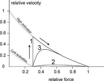 Schematic force-velocity relation for a vessel undergoing a transition from low to high activation. The dashed lines indicate the Hill curves for two levels of activation. Three possible transitions from a low-activation to a high-activation steady state are shown: transition 1 reflects the case where the low constriction velocity of smooth muscle dominates the dynamics, 2 indicates the case where dynamics are dominated by intracellular signalling, and 3 is intermediate.