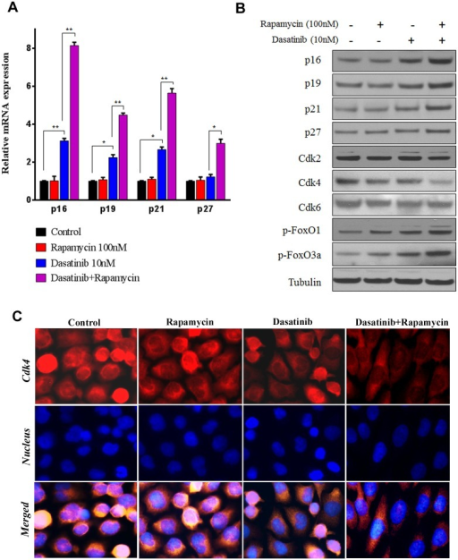 Rapamycin potentiated Dasatinib to up-regulate CDK inhibitor proteins and thereby down-regulate Cdk4.A549 cells were treated with vehicle control (0.1% DMSO) or Dasatinib (10 nM) in the presence and absence of Rapamycin (100 nM) for 24 h. (A) Relative expression of CDK inhibitor proteins (p16, p19, p21 and p27) at mRNA level. Columns, mean of three determinations; bars, SD. * p < 0.05, ** p < 0.01. (B) Expression of CDK inhibitor proteins, CDKs and FoxOs determined by western blotting. (D) Localization of Cdk4 determined by immunofluorescence staining. Representative pictures indicated staining of Cdk4 (red), nucleus (blue), and the merged images.