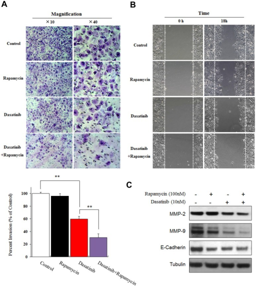 "Rapamycin enhanced the inhibiting effect of Dasatinib on invasion and migration in A549 cells.(A) Representative images (upper panel) and quantification (lower panel) of invading cells. As detailed by ""cell invasion assay"" in the ""Methods"", A549 cells were treated with DMSO (0.1%), Dasatinib (10 nM) alone or in combination with Rapamycin (100 nM) for 24 h. The numbers of invading cells were counted under microscope and the data was presented as mean ± SD from three independent experiments, * p < 0.05, ** p < 0.01. (B) Representative images of wound healing assays in A549 cells that were treated with DMSO (0.1%), Dasatinib (10 nM) or Rapamycin (100 nM) for 18 h. (C) The expression of MMP-2/9 and E-cadherin determined by western blotting in A549 cells that were treated with DMSO (0.1%), Dasatinib (10 nM) or Rapamycin (100 nM) for 24 h."