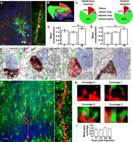 Astrocytic perisynaptic processes ensheathe dendritic spines of adult-born neurons. aLeft RABV used for trans-synaptic tracing reveals astrocytes: Mice were infected with a MoMuLV expressing DsRed, protein G and TVA. Five weeks later, they were infected with RABV expressing GFP and examined 1 week later. Confocal micrograph maximal projection reveals GFP-labeled astrocytes (arrows) contacting a starter neuron (yellow) co-infected by MoMuLV and RABV. Presumable presynaptic neurons (RABV-only infected) are also labeled in green. Scale bar 20 µm. Right higher magnification single optical section micrograph showing the dendrite of a starter neuron (yellow) in close contact with GFP-labeled astrocytic processes. Scale bar 5 µm. b Three-dimensional reconstruction of a synapse between a dendritic spine (red) and an axon terminal (blue) ensheathed by an astrocytic perisynaptic process (green). Scale bar 0.25 µm. c Proportion of the different types of astrocytic ensheathement on spines of adult-born neuron synapses (left) and GFP-negative, control neurons (right). d Mean perisynaptic ensheathement on spines of different morphologies on adult-born neurons (Kruskal–Wallis test, p < 0.05, n = 50–100 spines per group). e Mean perisynaptic ensheathement on spines of different morphologies on control neurons (Kruskal–Wallis test, p < 0.05, n = 50–100 spines per group). F filopodia, T thin spines, M mushroom spines. f Electron micrographs of dendritic spines from newborn neurons (false-colored in red) and axon terminals (blue) ensheathed by an astrocytic perisynaptic process (green). From left to right: the perisynaptic process is found on the axon terminal only, on the dendritic spine only, on both synaptic partners or is absent. Scale bars 0.25 µm. gLeft panel confocal micrograph maximal projection of an adult-born neuron (red) in the dentate gyrus of an Aldh1l1-GFP mouse, 4 weeks post-injection. Scale bar 20 µm. Right panel confocal micrograph single optical section (after deconvolution) of a dendrite of a newborn neuron (red) in the dentate gyrus of an Aldh1l1-GFP mouse 4 weeks post-injection. Scale bar 2 µm. h. Confocal micrographs of dendritic spines with astrocytic processes scored in four classes: score 0 no coverage, score 1 coverage inferior or equal to 25 % of the spine head, score 2 coverage between 25 and 50 %, score 3 coverage above 50 %. Scale bar 0.5 µm. i Histogram of the mean perisynaptic ensheathement on neurons of different ages, as assessed by confocal microscopy [One-way ANOVA between groups, F(3,71) = 1.18, p = 0.32, n = 84–1,780 spines per group]