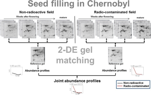 Schematic overview on the establishment of protein abundance profiles – modified from Klubicova et al. (2012a). Briefly, developing soybean seeds were harvested at 4, 5, 6 weeks after flowering (WAF) (flax seeds at 2, 4, and 6 WAF) and at a mature stage from plants grown in non-radioactive and radio-contaminated Chernobyl experimental fields (Supplementary Figure S1). Isolated total protein was resolved by two-dimensional protein electrophoresis (2-DE) in biological triplicate. The 2-DE gels were matched to the pooled (reference) gels using ImageMaster 4.9 software. Finally, abundance profiles from both experimental fields were matched and joint abundance profiles, i.e., profiles for the same spot across seed filling in non-radioactive and radio-contaminated experimental fields, were established.