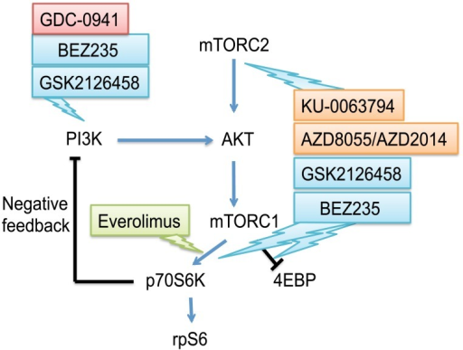 Schematic representation of a network of PI3K/AKT/mTOR signaling.Inhibitors targeting the pathways are used in this study. Blue arrows and black lines represent activating and inhibitory connections, respectively. GDC-0941, pan-PI3K inhibitor; BEZ235 and GSK2126458, dual PI3K/mTOR kinase inhibitors; AZD8055, AZD82014 and KU-0063794, dual mTORC1/mTORC2 kinase inhibitors; and everolimus, allosteric mTORC1 inhibitor.