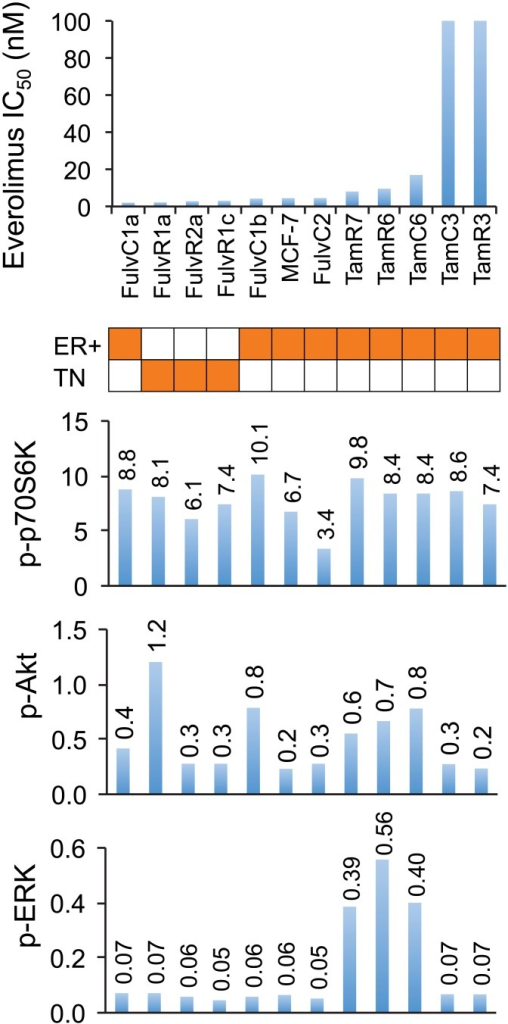 Relationship between drug sensitivity and pathway utilization in MCF-7 parental and sub-lines.IC50 values for everolimus are represented on the y-axis and individual cell lines on the x-axis. Orange shading in the matrix indicates estrogen receptor positive (ER), and triple-negative (TN) cell lines. Relative levels of phosphorylation of p70S6K, AKT and ERK of breast cancer cell lines are shown as bar graphs. Bands are normalized to tubulin or actin control and bars represent changes in fold compared with MCF-7 and expressed as the mean of two experiments.