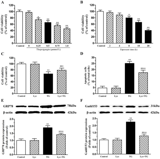 Effects of lycopene on ER stress inducer (thapsigargin, TG)-induced changes in neonatal cardiomyocytes.Cell viability was detected by CCK-8 assay. The total proteins of cardiomyocytes were extracted and the protein expression levels of Bip/GRP78 and GADD153 were detected by western blot. (A) TG evoked a dose-dependent decrease in the viability of neonatal cardiomyocytes. Cells were pretreated with TG (0.25, 0.5, 0.75 and 1.0μM) for 10h, respectively. (B) TG-mediated loss of cell viability increased with treatment duration. Cells were treatment with 0.5μM TG for 2, 4, 8, 10 and 20h, respectively. (C) Lycopene reversed TG-caused loss of cell viability. Cells were pretreated with or without 0.5μM TG for 10h after the lycopene pretreatment. (D) The relative proportion of TUNEL-positive cells is shown in each group. Representative western blot image, quantitative analysis normalized to the β-actin and control respectively showed the expression of GRP78 (E) and GADD153 (F). These assays were repeated three times. Values are mean ± SEM. *P<0.05, **P<0.01 versus control; ##P <0.01 versus H/R group. (Lyc, Lycopene; H/R, hypoxia/ reoxygenation).