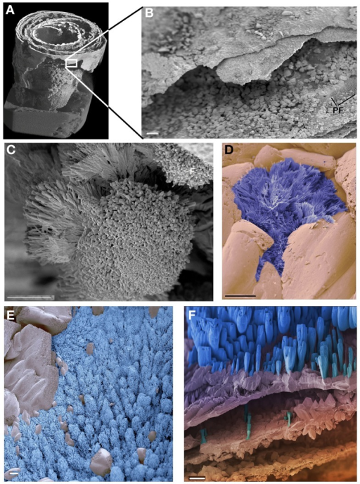 "SEM of the CaCO3 stalactite. (A) General built. Image identical to Figure 3A but non-linearly compacted as it only serves to highlight the position of image (B). (B) Detail of the outer, smooth surface of the stalactite showing the much coarser built of the more interior layers inside. Low resolution of an area covered in the shrub called ""pine forest."" (C–F) The different types of shrubs identified in the CaCO3 stalactite. (C) The ""cauliflower"" the most dominantly present. (D) The ""Chinese fan"" (dark blue) (E) the ""pine forest"" (light blue). (F) The ""amphora"" (blue). No logical pattern of presence could be deduced for any of these shrubs. Scale bars (B) and (F): 100 μm, (C–E): 10 μm."