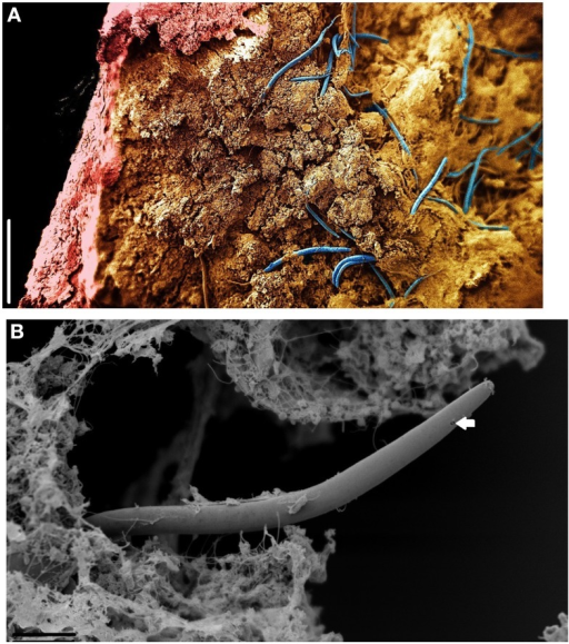 SEM of Monhystrella parvella inside a CaCO3 stalactite after longitudinal sections with a scalpel. (A) Composite image made of four images taken at different focal points and assembled using Adobe Photoshop. Nematodes (blue) reside in the amorph mass within the confines of the CaCO3 outer stalactite wall (pink). (B) Detail of M. parvella, arrow highlights the fovea. Scale bars: (A,B): 200 μm.